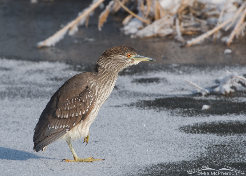 Alert juvenile Black-crowned Night Heron