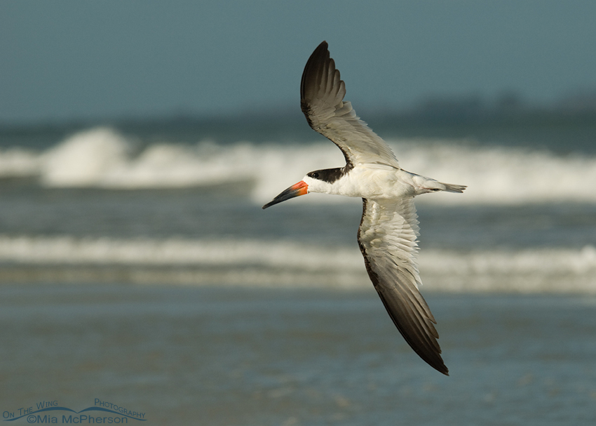 Black Skimmer flying in the wind