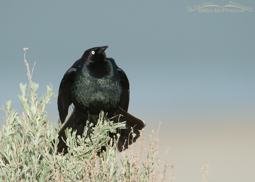 Brewer's Blackbird male displaying