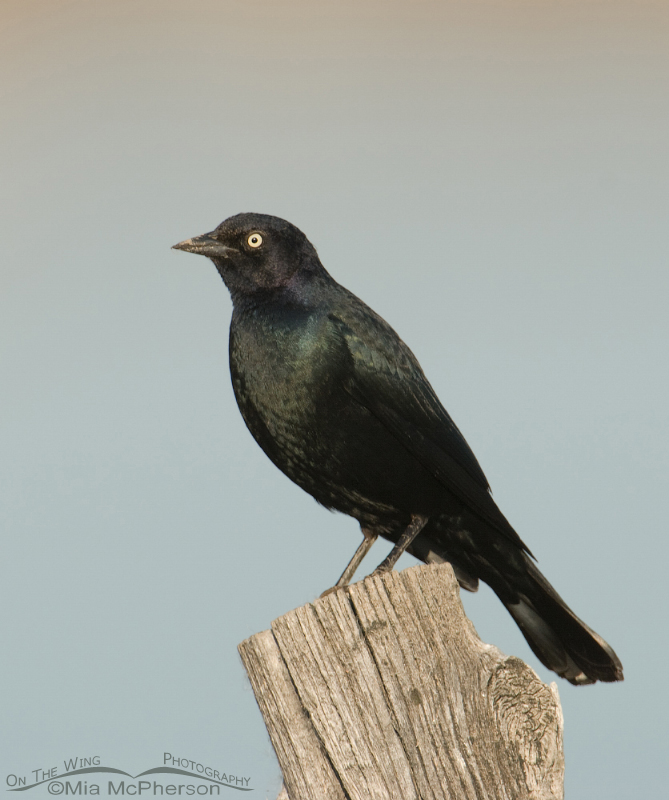 Brewer's Blackbird male