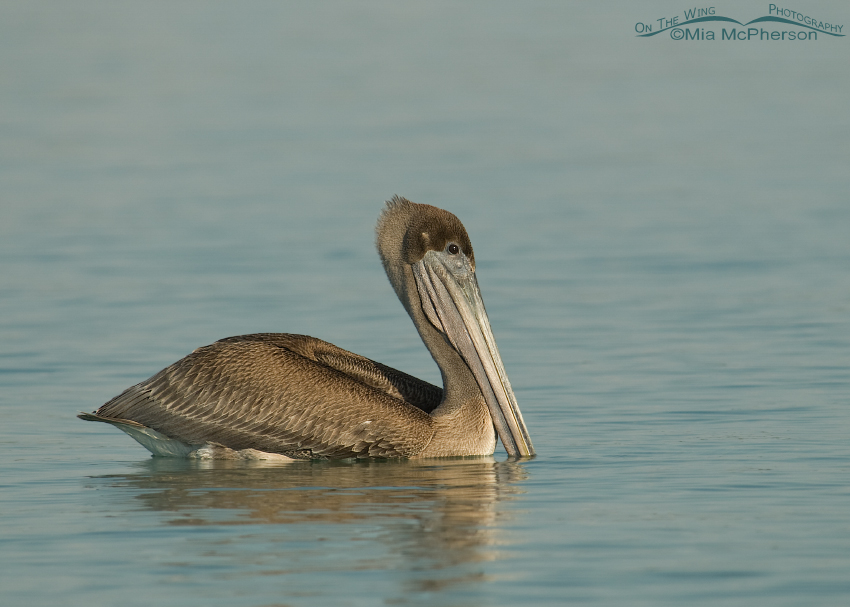 Juvenile Brown Pelican floating by