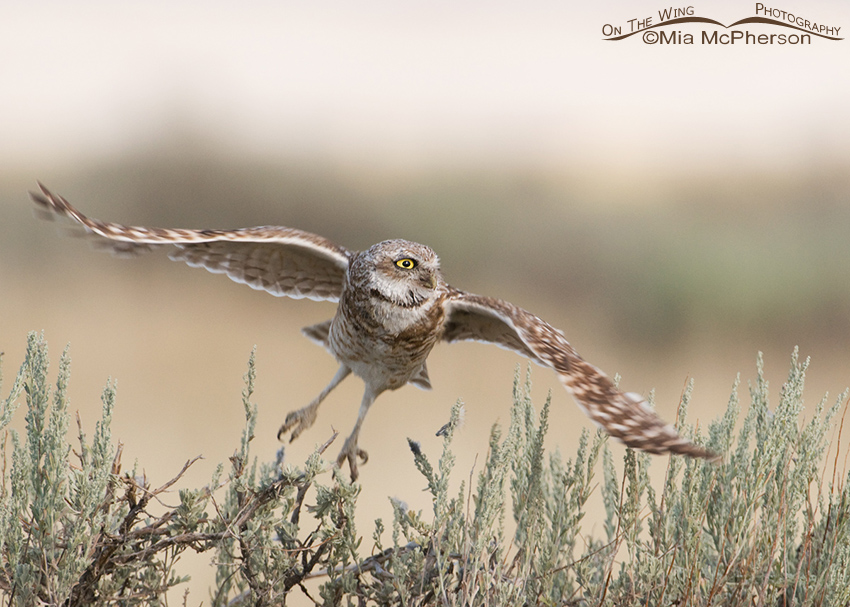 Adult Burrowing Owl lifting off