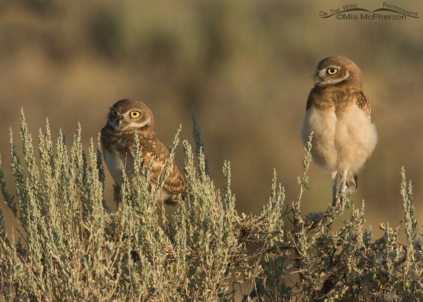 Burrowing Owl chicks on Sagebrush