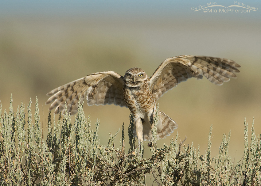 Burrowing Owl flapping wings