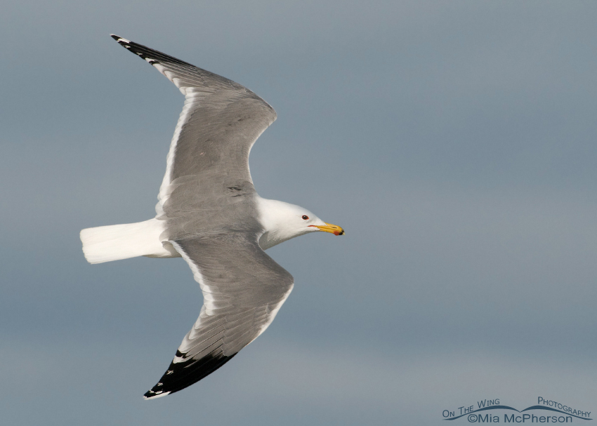 California Gull in flight