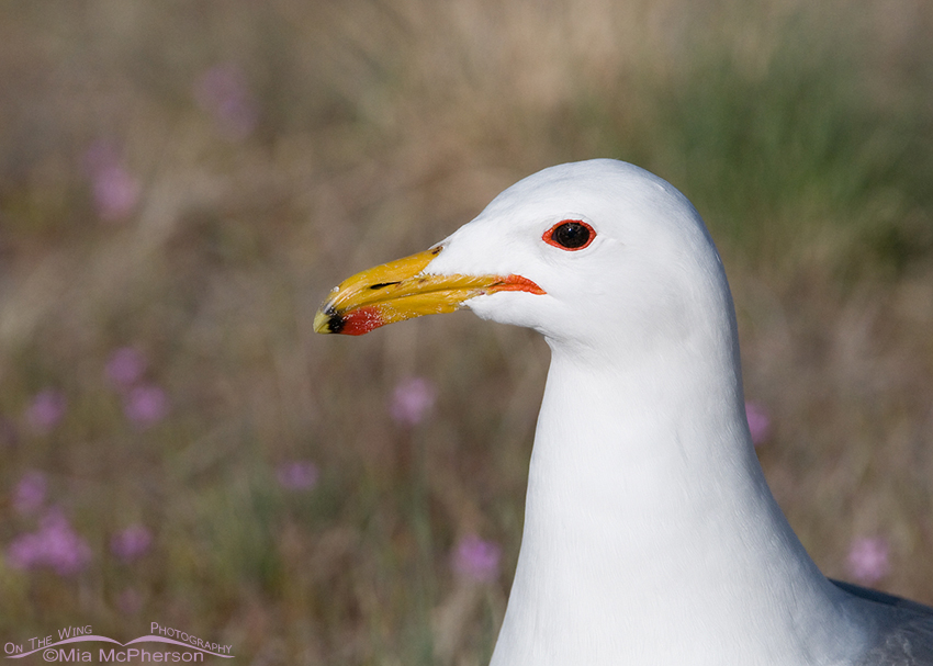 Springtime California Gull Portrait