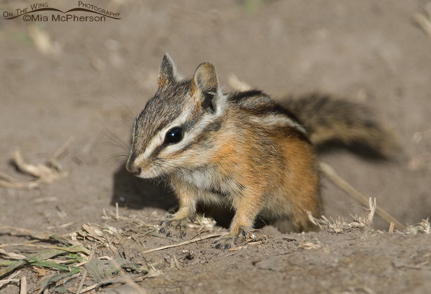 Chipmunk at Cliff Lake, Montana