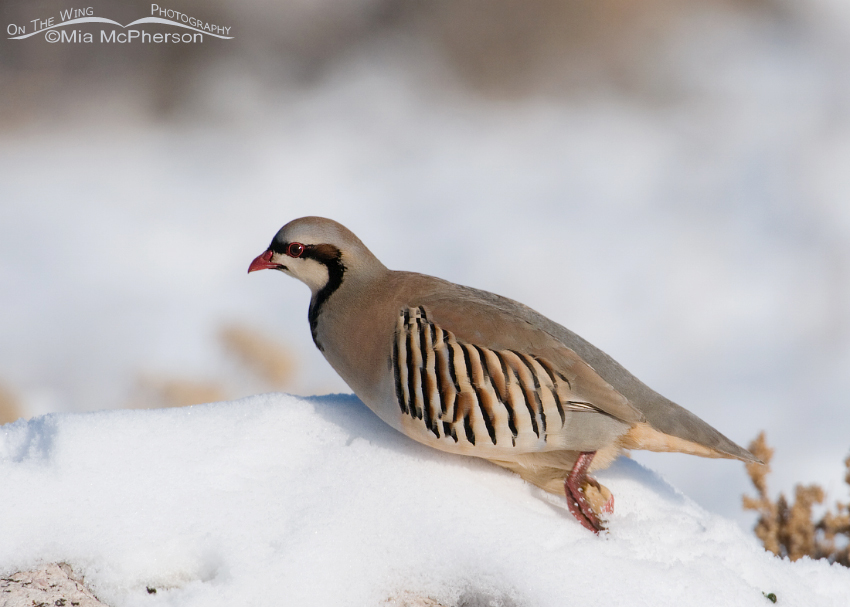 The Chukar takes off running