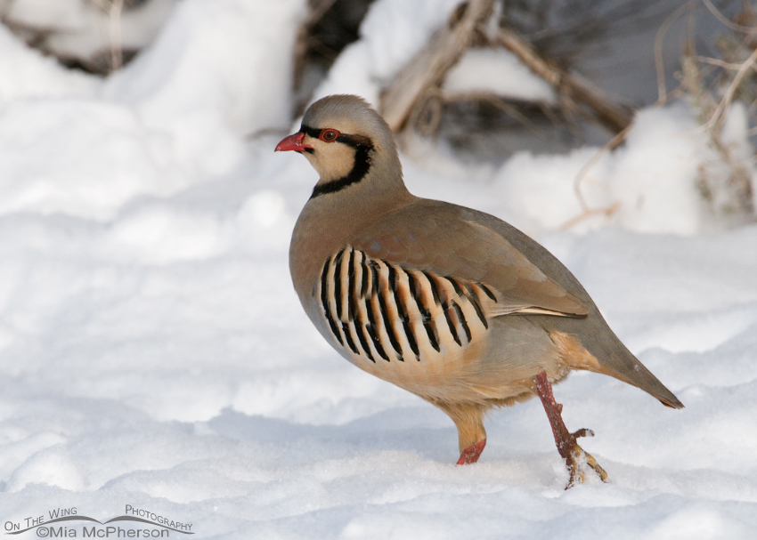 Chukar walking on fresh snow