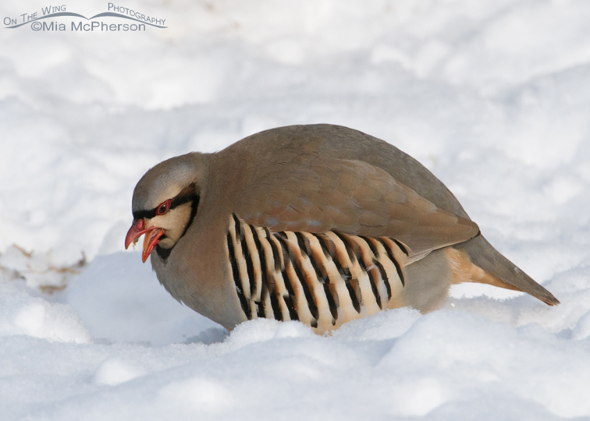 Bad Seed? Chukar shows tongue