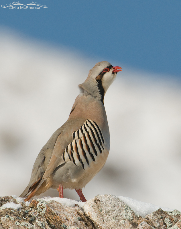Chukar calling in the snow