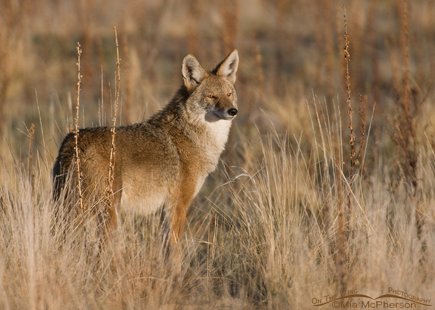 Adult Coyote