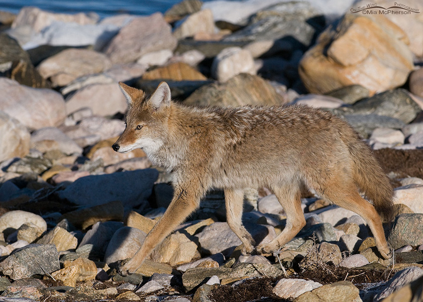 Coyote on the shore of the Great Salt Lake 1