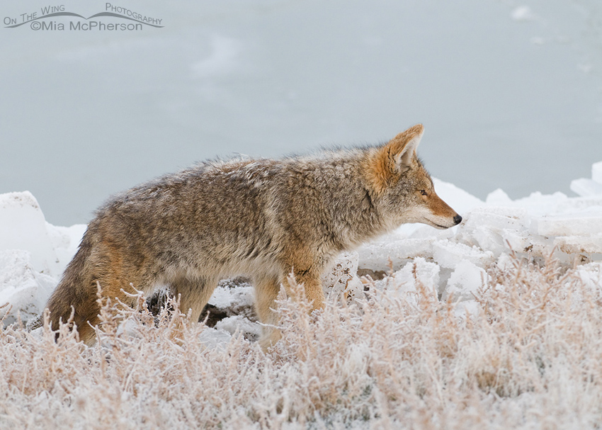 Coyote on the shoreline of the frozen Great Salt Lake