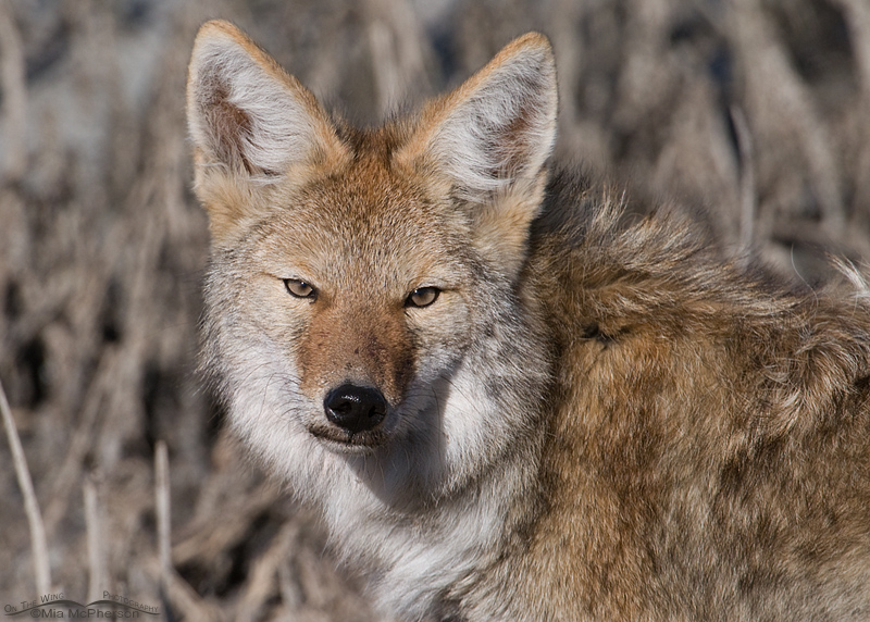 Coyote Portrait II