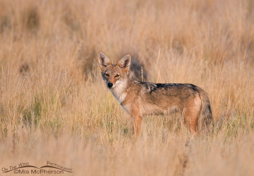 Coyote Pup in Prairie Grasses