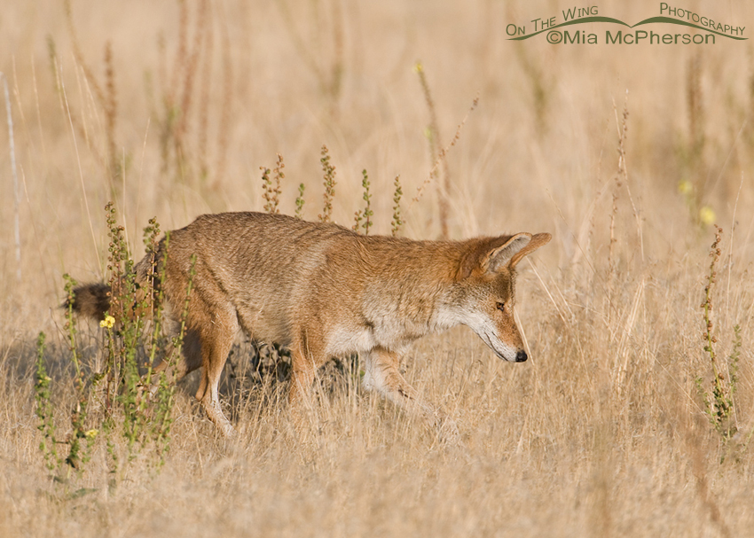 Coyote in its summer coat