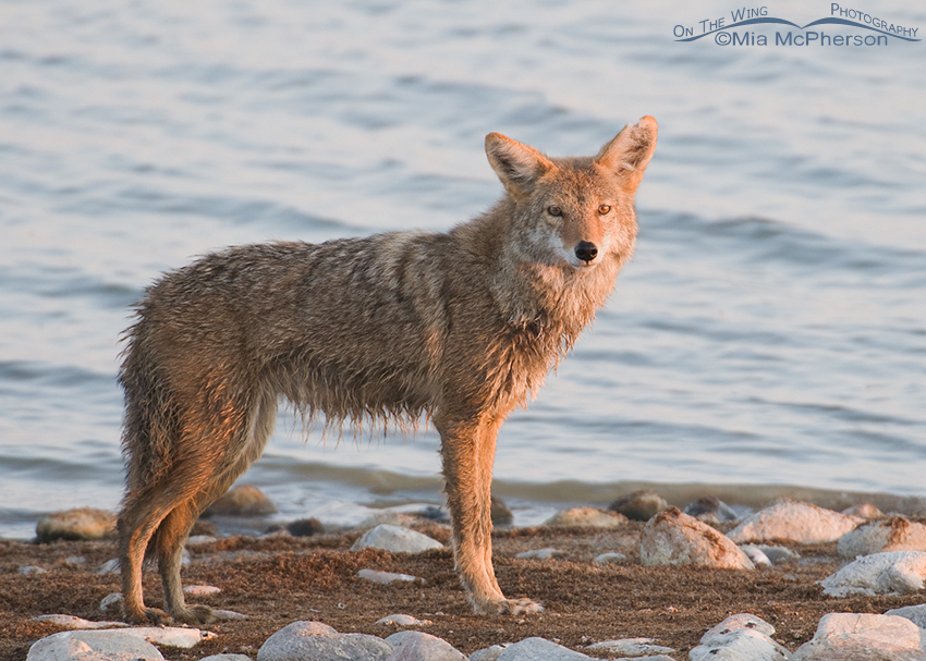 Wet Coyote on the Antelope Island Causeway