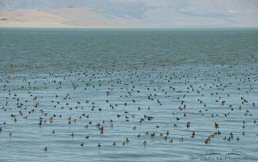 Eared Grebes on the Great Salt Lake