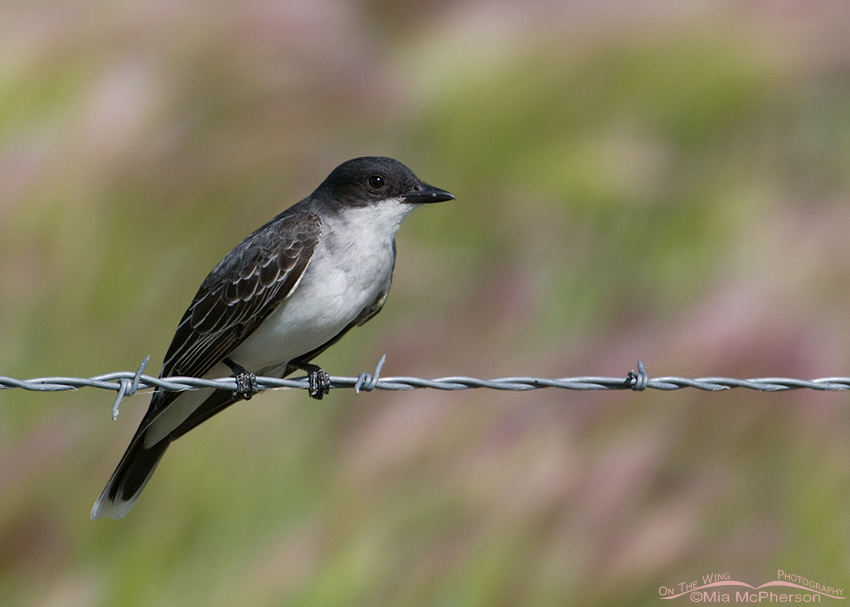 Eastern Kingbird perched on a wire