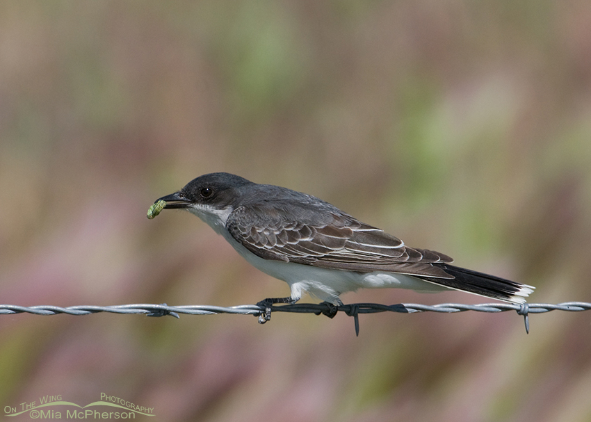 Eastern Kingbird with prey