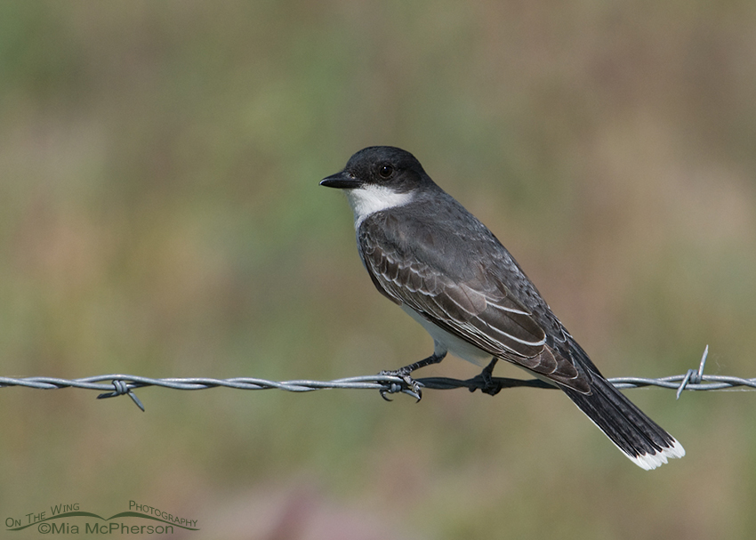 Eastern Kingbird back view