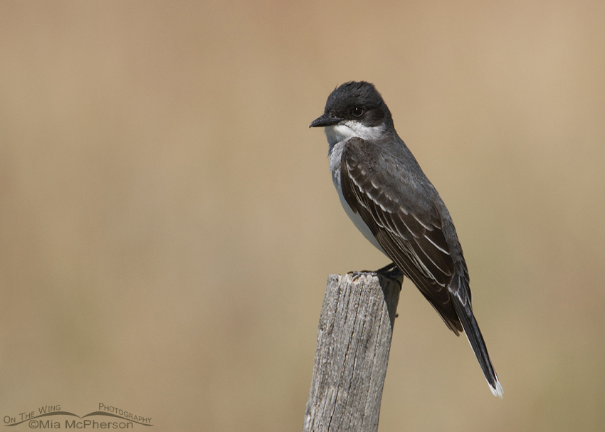 Perched Eastern Kingbird