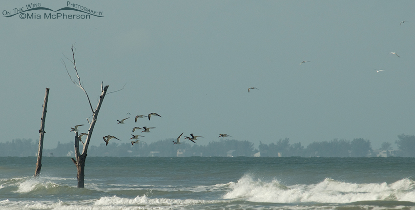 Skimmers, waves, wind and Egmont Key