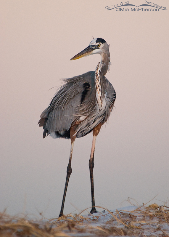 Great Blue Heron - Pre-dawn light with Earth Shadow