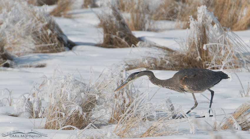 Great Blue Heron stalking voles in winter