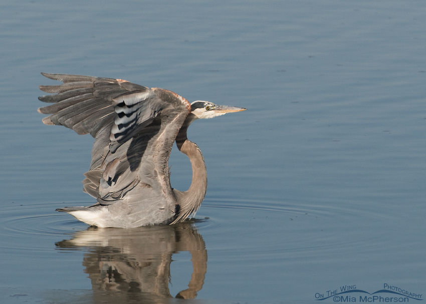 Great Blue Heron lifting off from icy water