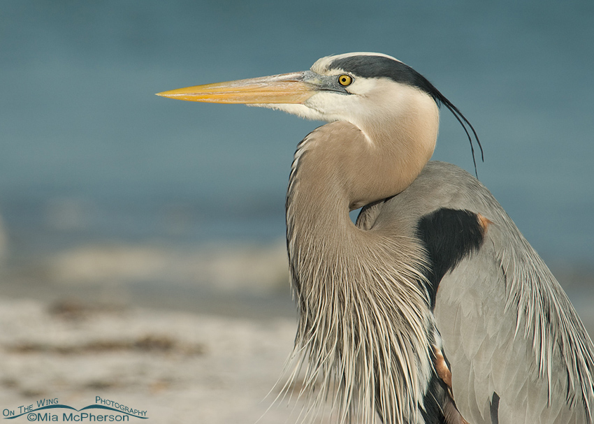 Great Blue Heron portrait - Mid morning light