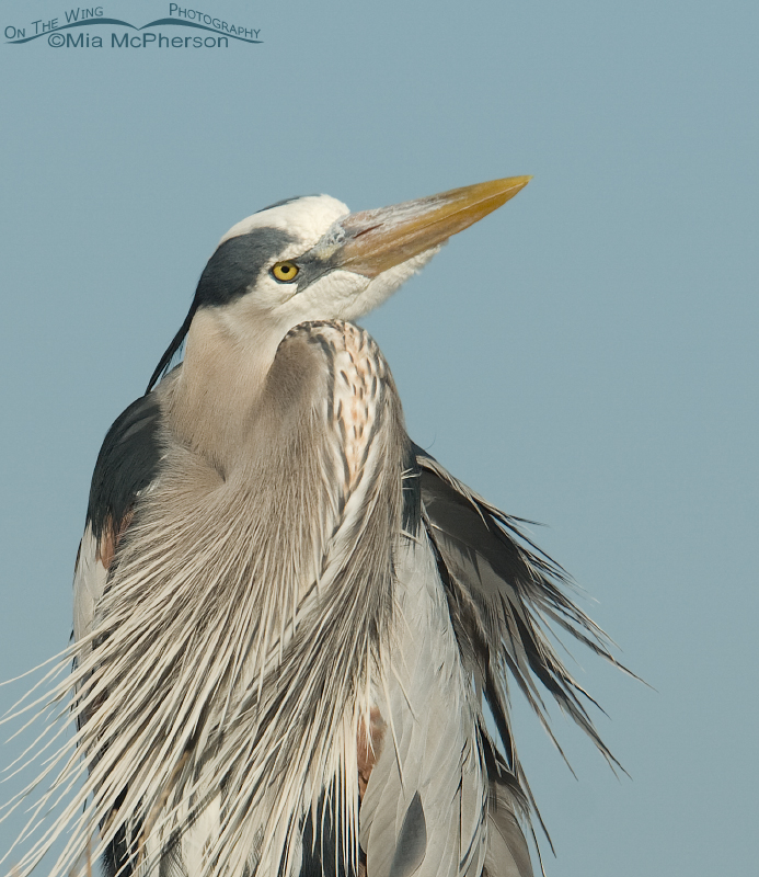 Great Blue heron with sky background