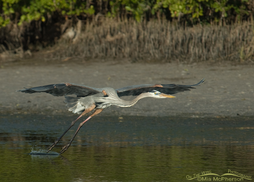 Skimming Great Blue Heron
