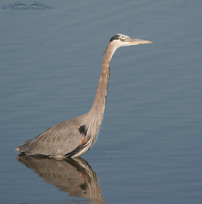 Great Blue Heron at Farmington Bay WMA