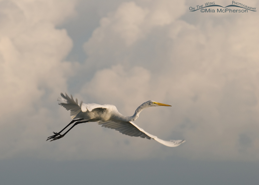 Great Egret in flight with a storm in the background