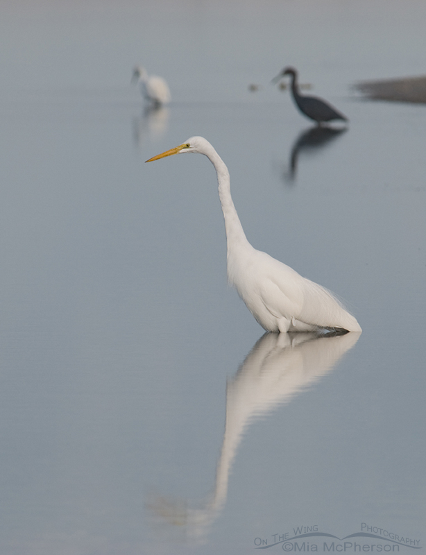 Great Egret in tidal lagoon
