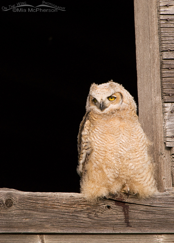 Great Horned Owl fledgling perched in a granary window