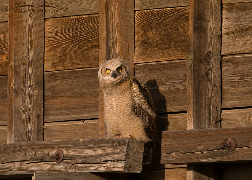 Great Horned Owl juvenile in early morning light