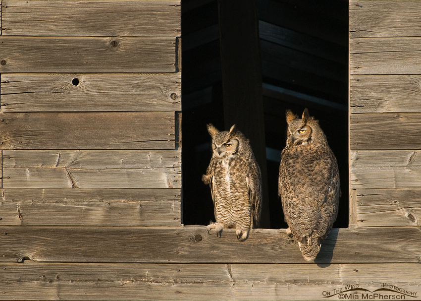 A mated pair of Great Horned Owls