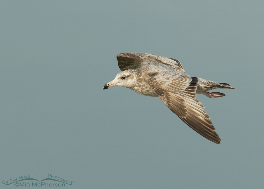 1st summer Herring Gull