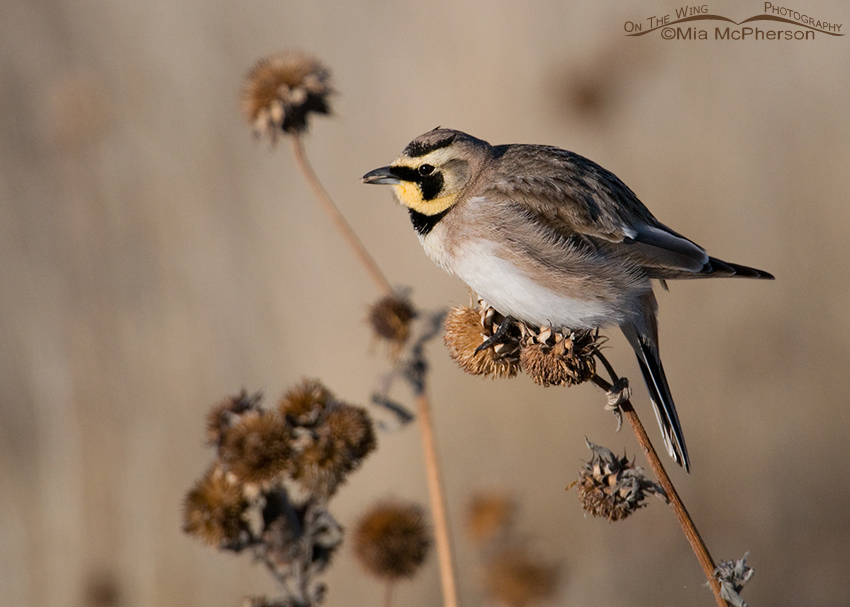 Male Horned Lark eating sunflower seeds