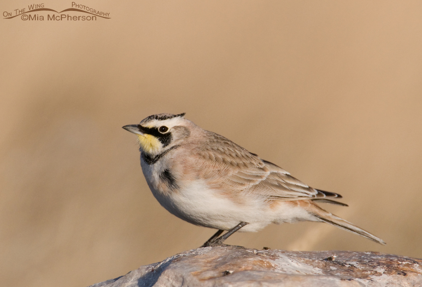 Male Horned Lark in Tooele County