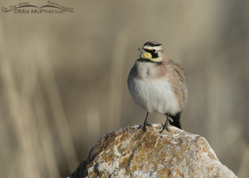 Horned Lark perched on a rock