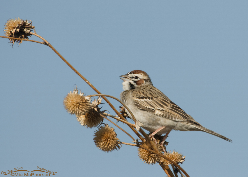 Lark Sparrow singing on a Sunflower stalk