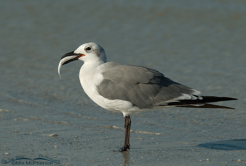 Nonbreeding Laughing Gull with prey