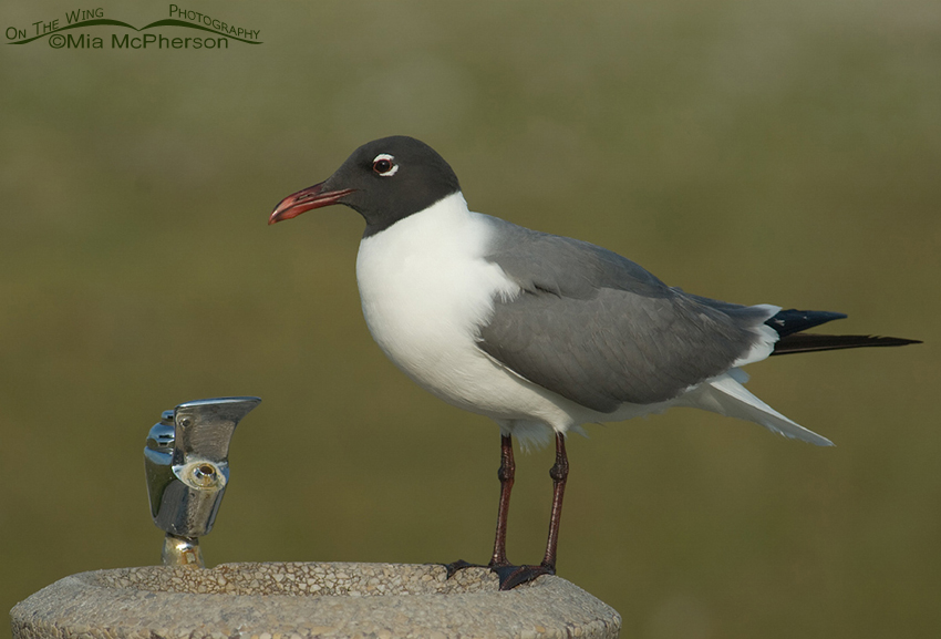 Laughing Gull in breeding plumage at a water fountain