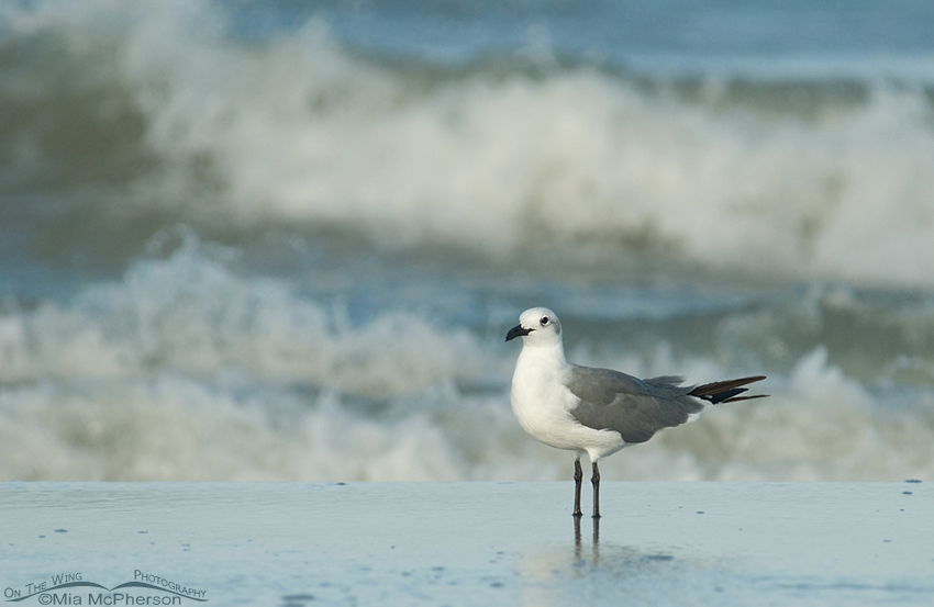 Nonbreeding Laughing Gull