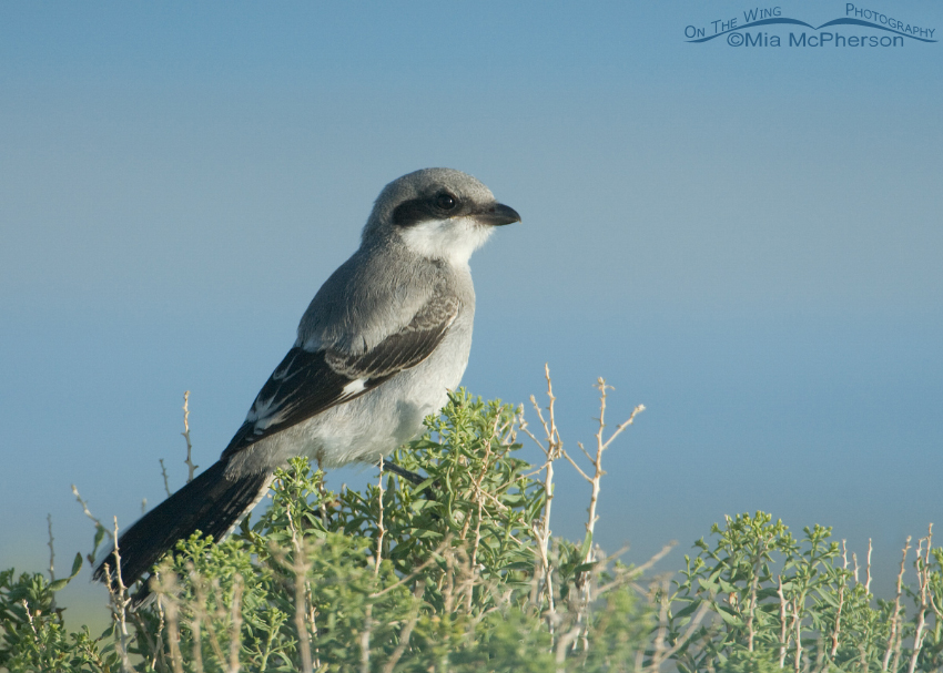 Juvie Loggerhead Shrike