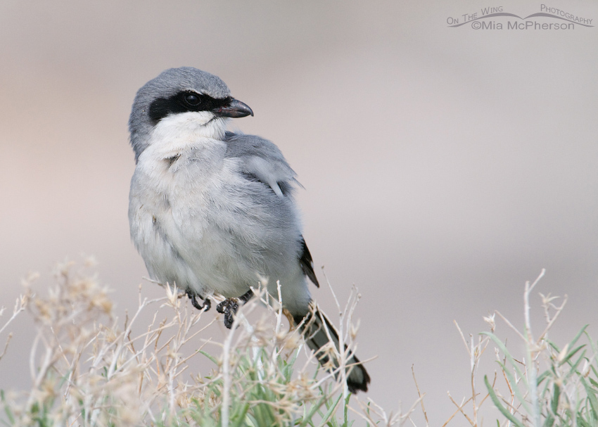 Loggerhead Shrike side view